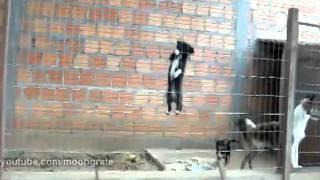 Smart Cute Puppy Climbs a Fence | Собака на забор залезака