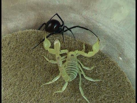 Hornet Vs Praying Mantis ACCESS: YouTube