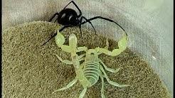 Black Widow Spider vs. Desert Hairy Scorpion: Educational Natural Pest Control Test
