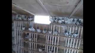 голуби венгры видео