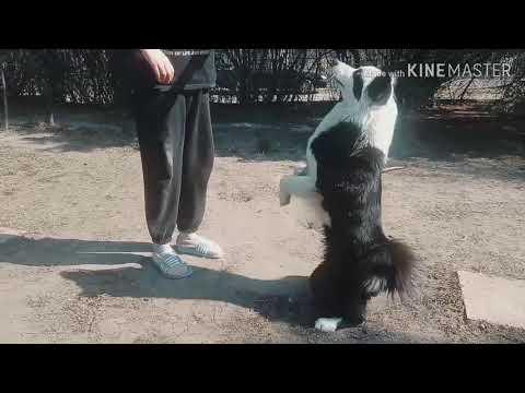 Dog tricks & training performed by a Yakutian Laika