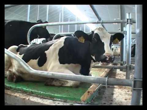 Если на одну корову в день необходимо в среднем 12−15 кг соломы, то на ферму в 800 голов понадобится 9−12 т в день. Эти цифры соответствует урожаю с 2 га земли, подсчитывает специалист. К подстилке, изготовленной из неорганических материалов, относят резиновые маты. Они пользуются.
