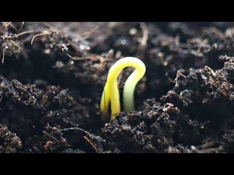 Как посадить и вырастить мощную рассаду перца без пикировки? Во что сажать перец на рассаду?
