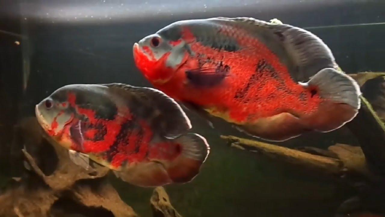 5 Jenis Ikan Oscar Yang Sangat Cantik Dan Langka Youtube