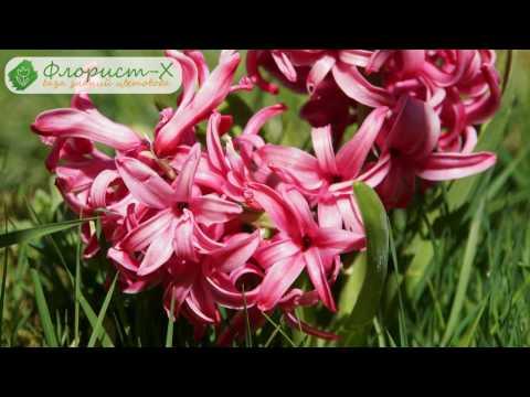 Гиацинт отцвел – что делать; уход за гиацинтом после цветения – обрезка и хранение