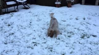 Orange Roan Cocker Spaniel -slow Mo In The Snow