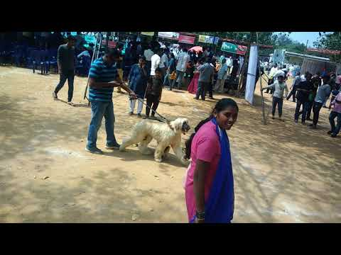 Afghan hound in Mysore dog show 2017!
