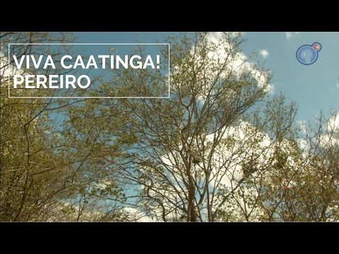 Viva Caatinga! Pereiro