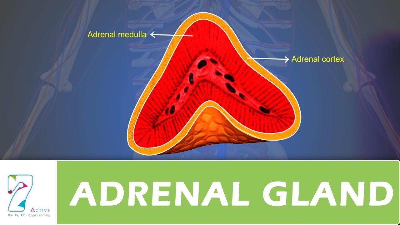 Adrenal Gland Youtube