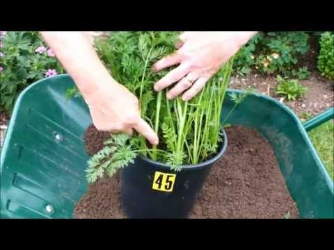 HGV How to recognise carrots that have gone to seed start to finish