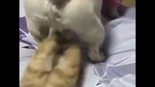 Кошка кусает пса за яйца!!!!