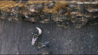 Пчёлы убивают личинку восковой моли. Рамки: проволока и наващивание / Семья Фетистовых