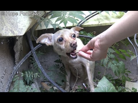Saving a homeless Chihuahua who was NOT ready yet for human contact.