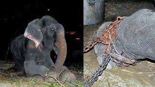 هذا الفيل تم تقييده لمدة 50 عام.. شاهد ماذا حدث عندما تم تحريره !!