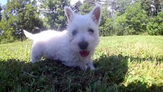 West Highland White Terrier Lala's Puppies Farewell Video