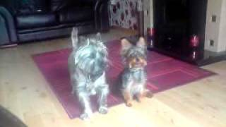 Smokey And Rosco. Cairn And Yorkshire Terriers