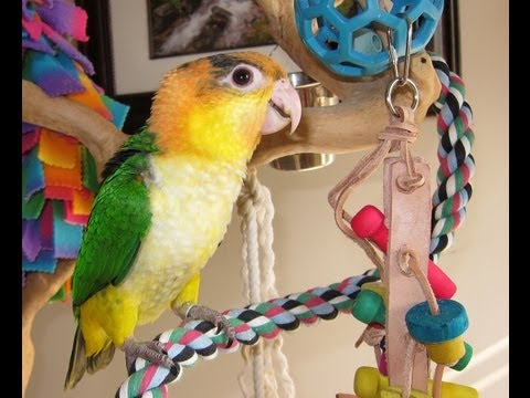 Mojo — Baby White Bellied Caique