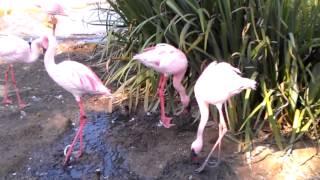 Flamingos building nests