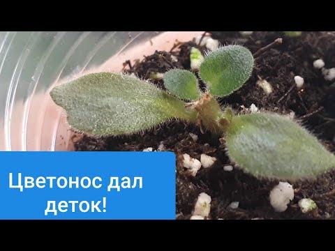 Размножение фиалки цветоносом! Результат!
