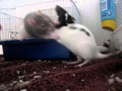 Rats And Mice Living At Peace