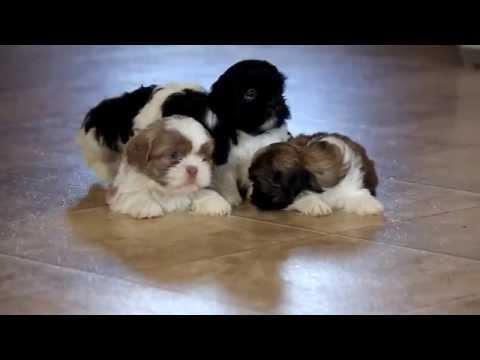 Shih Tzu puppy video | FunnyDog.TV