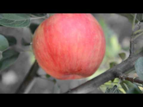 Яблоня сорта Хонэй Крисп