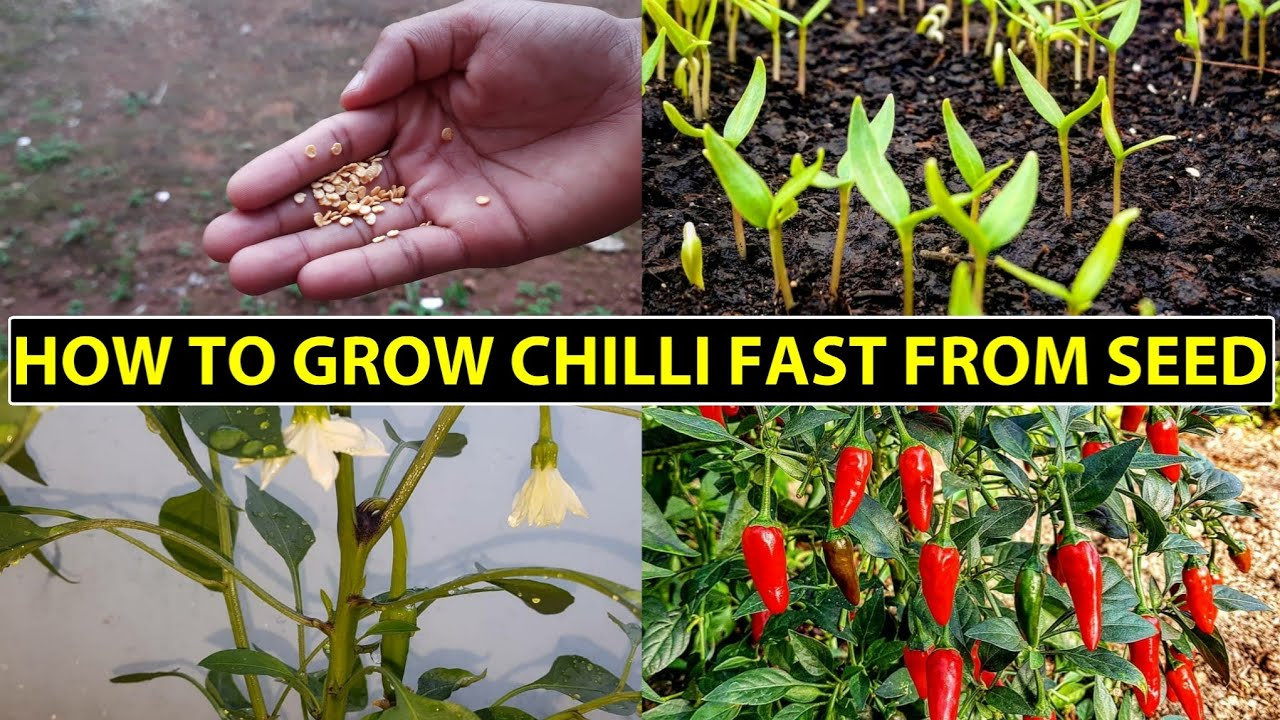 How To Grow Chillies Fast From Seed At Home | Chili Seed Germination
