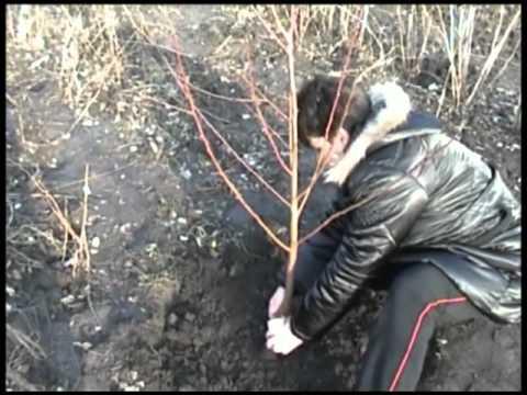 агротехники персика.mp4