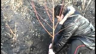 Авторский фильм о секретах агротехники персика.mp4(Все секреты агротехники персика., 2012-03-23T09:31:24.000Z)