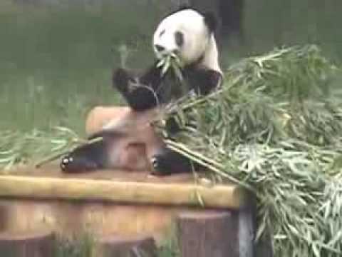 """""""Chongqing City Zoo and Panda House"""": CHONGQING, CHINA"""