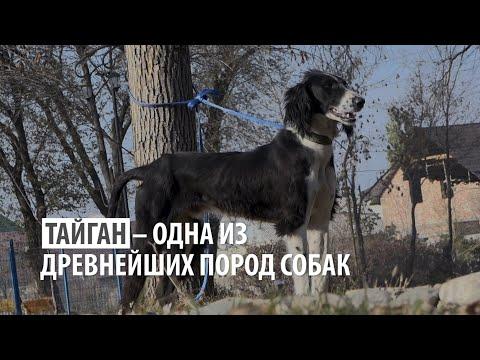 Тайган — древнейшая порода собак