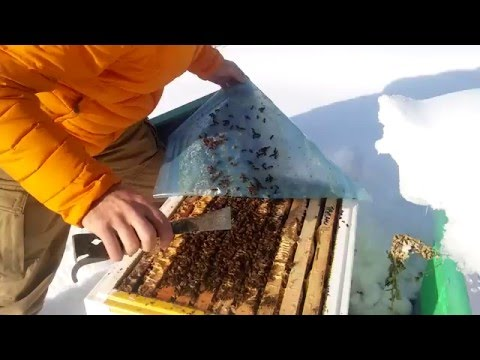Пчелы зимуют на улице в Сибири Wintering bees in the street in Siberia