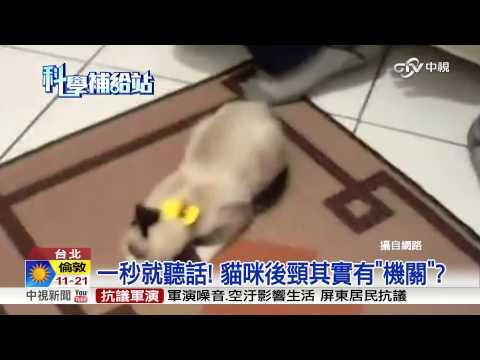 【中視新聞】一秒就聽話! 貓咪後頸其實有機關? 20150910