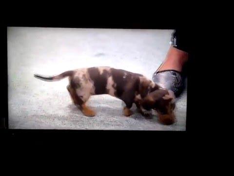 Supervet: the cutest dachsund puppies ever!