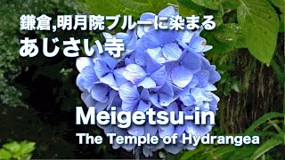 明月院ブルーが映える見頃のあじさい寺,鎌倉江ノ島観光
