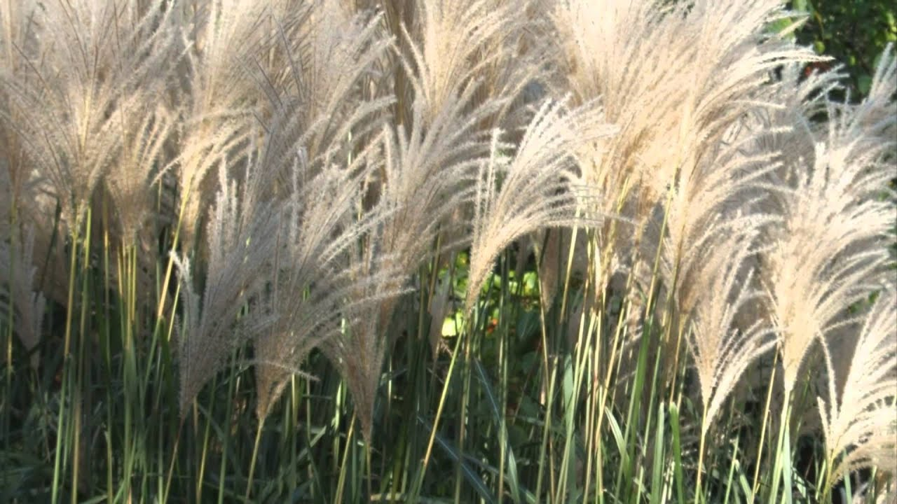 Easy landscaping ideas ornamental grass youtube for Tall perennial grasses