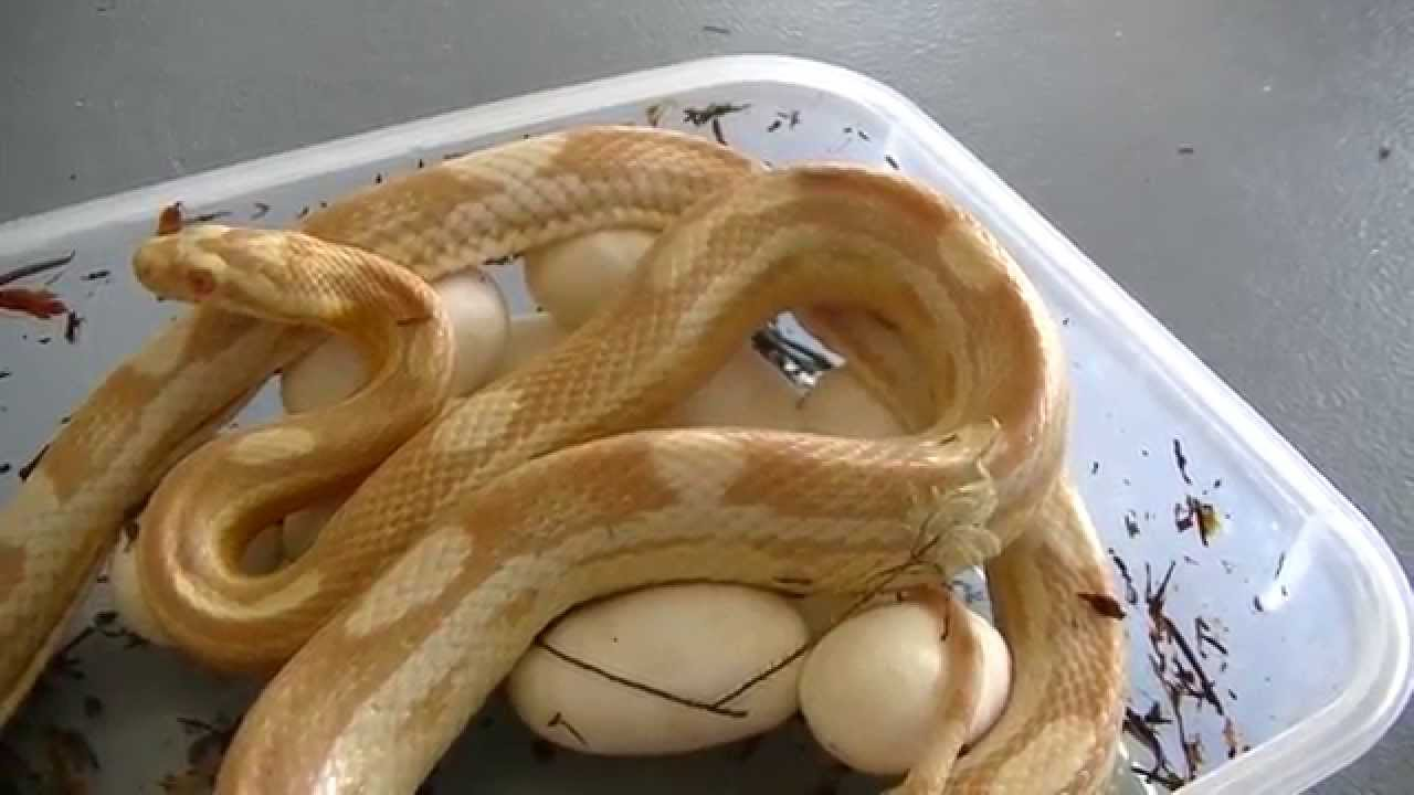 Butter Motley Corn Snake with her Eggs