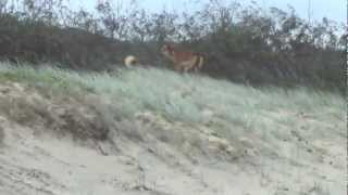 Dingo Chase Jogger.m4v