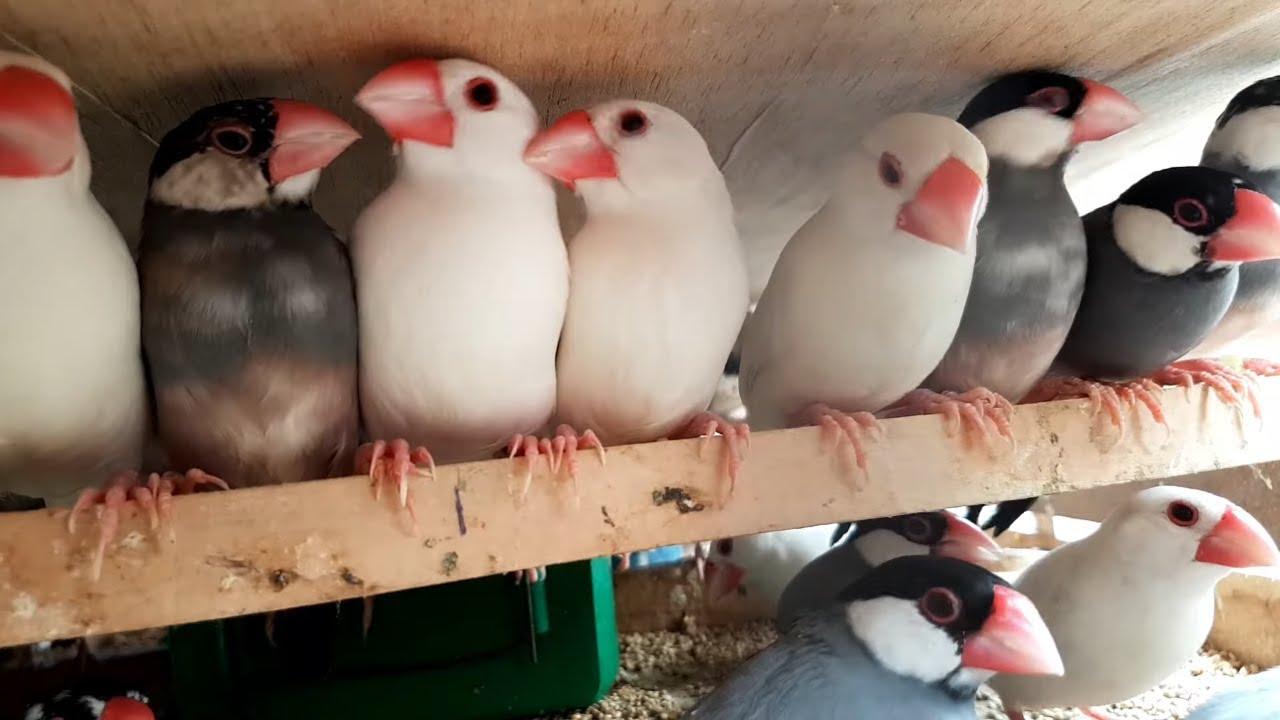 Lalukhet Birds Market Jaal Price 13 September 2020