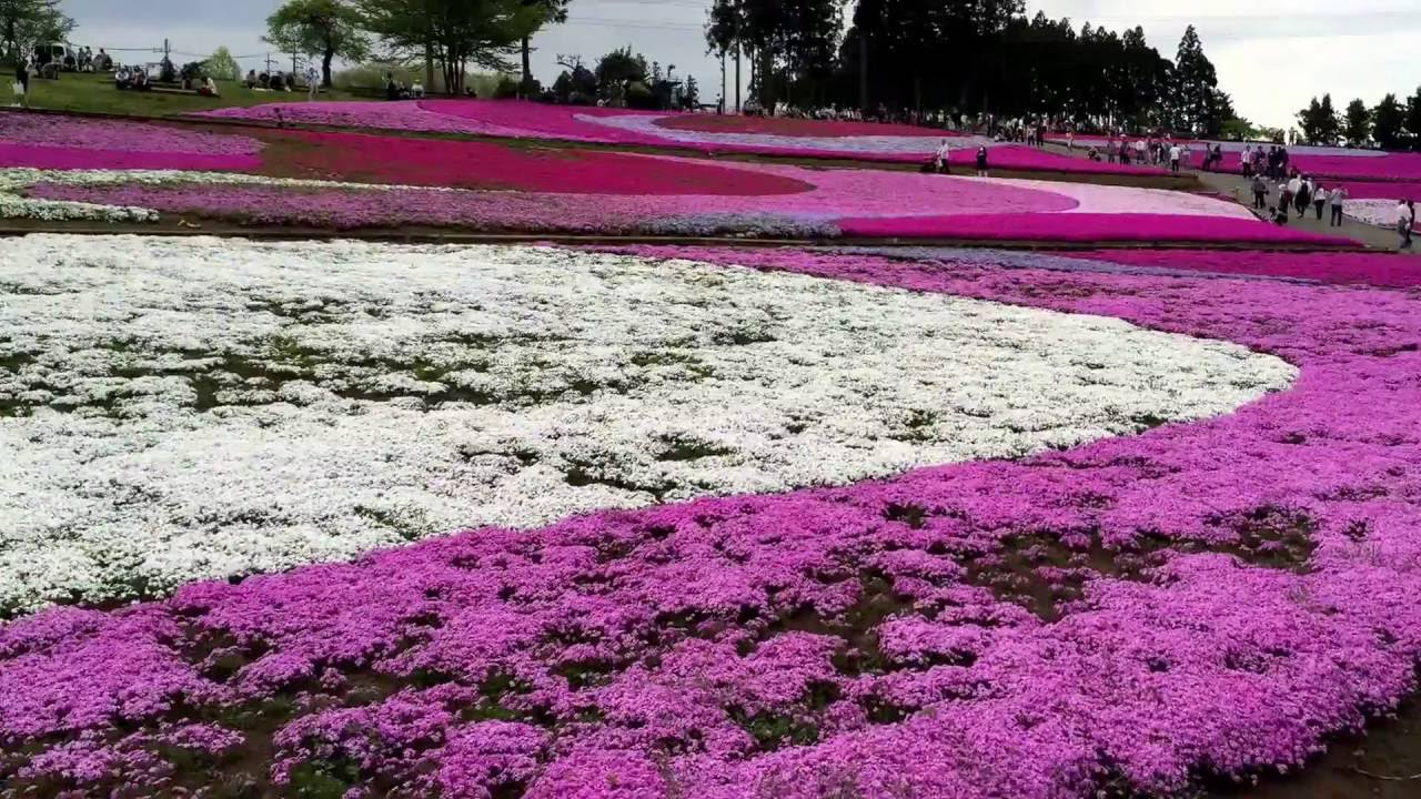 Shibazakura Moss Pink Festival Spring Flowers In Chichibu