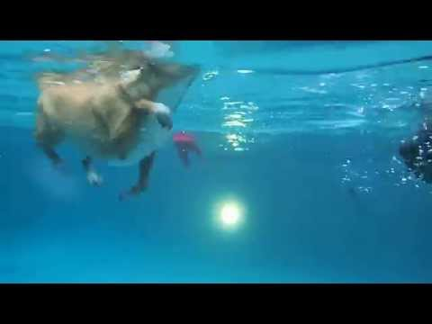 Chihuahua Sox & Toy Poodle Mini swimming in pool - underwater view