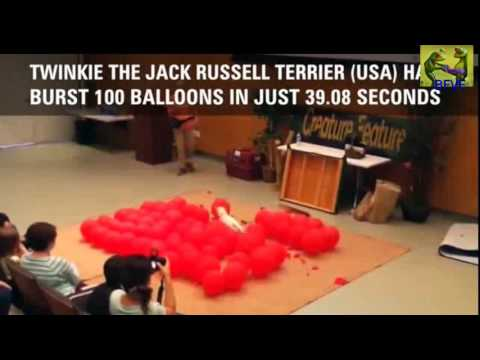 JACK RUSSEL pops 100 BALLOONS in no time - WORLD RECORD !!