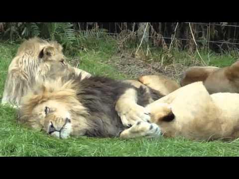 Familia leiilor de la zoo - (Ca romanu') ©