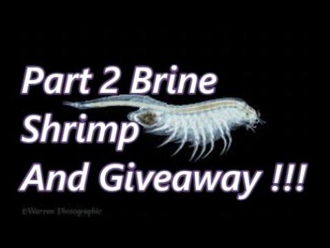 Brine Shrimp Cultures Outside, Tips Tricks Hacks , ((Giveaway is over))