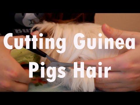 Cutting Guinea Pigs Hair