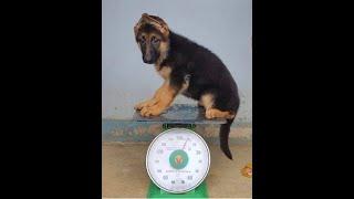 Chó becgie đức con. Gsd Công Phi