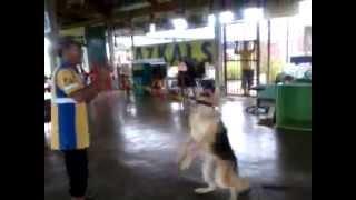 Malaybalay City Jail-k9 Dog German Shepherd Double Coated
