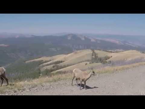 Bighorn Sheep at Yellowstone at Mount Washburn