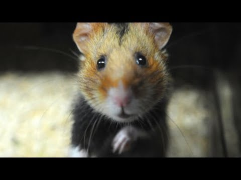 The Truth About Hamsters Is Surprisingly Dark