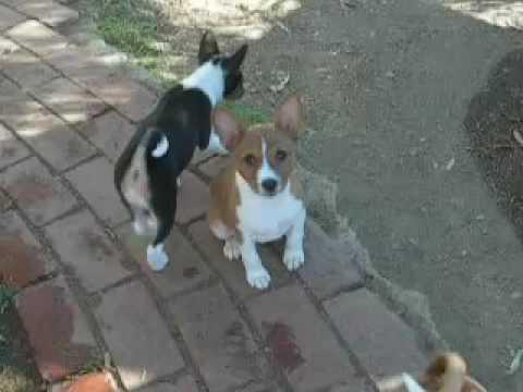 Yodeling Basenji Puppy